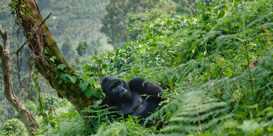 gorilla i Bwindi Impenetrable Forest national park